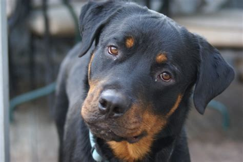 rottweiler adoption sarr home
