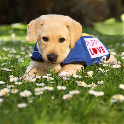 how to guide dogs news guide dogs tasmania