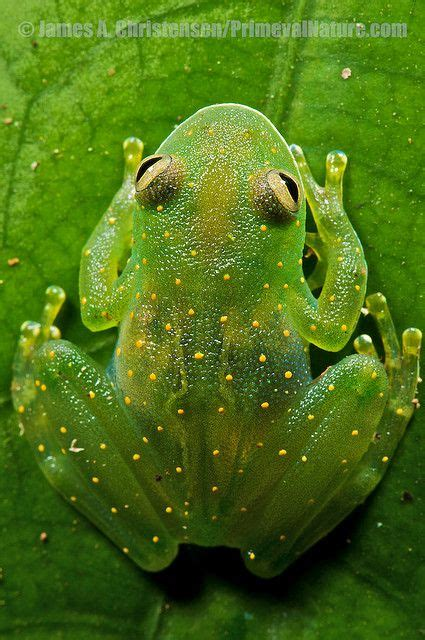 Jember City Green the 25 best frogs ideas on tree frogs
