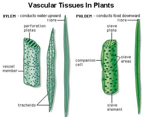 vascular tissue diagram plant taxonomy