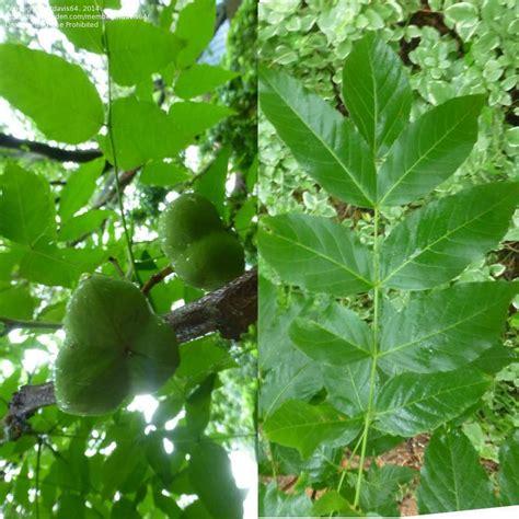 foliage plant identification plant identification closed ash like leaf w nuts 1 by