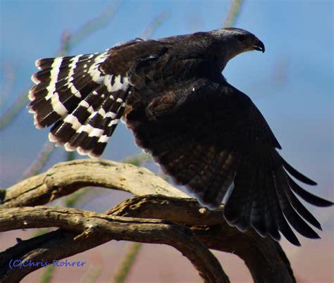 las aventuras gray hawks