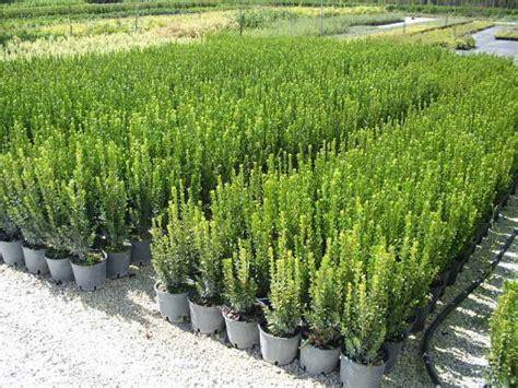 pianta ricante con fiori piante da frutto e prezzi trinci paolo vivai piante