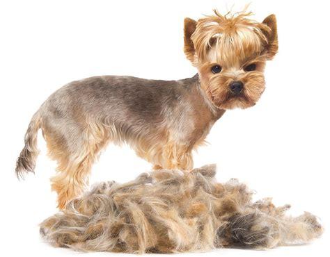 corte pelo yorkshire terrier fotos cortes de pelo yorkshire terrier