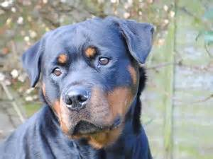 juffther rottweilers pedigree kc registered rottweiler puppies in driffield east born 21 02 15