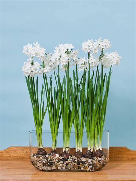 Paperwhite Vase by Paperwhite Ziva In Windowsill Vase White Flower Farm
