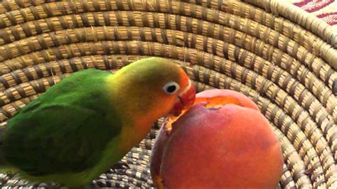 peach eating lovebird youtube