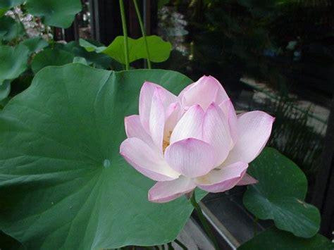 fior di loto bra l ombra di un riflesso sull acqua la ombra