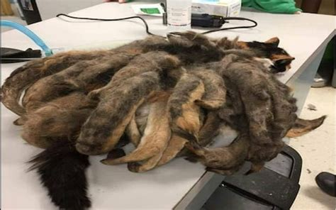 Matted In Kittens by Neglected Cat With Dreadlocks Has Horrendously Matted