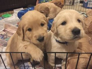 golden retrievers for sale in sc view ad golden retriever puppy for sale south carolina pendleton usa