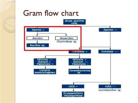gram staining procedure in flowchart gram positive spore forming bacilli ppt