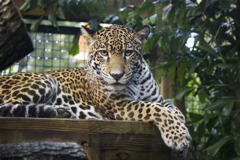 jaguar society brevard zoo
