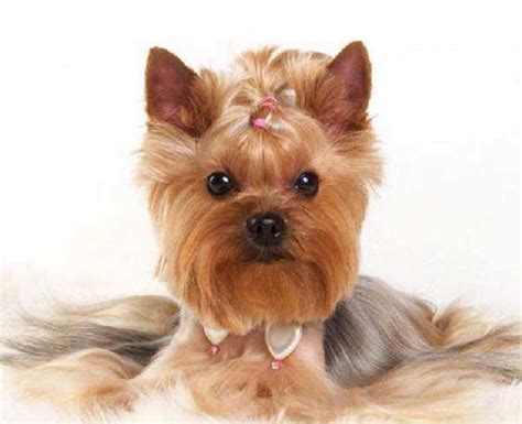 hairstyle for yorkshire terrier yorkie haircuts 100 yorkshire terrier hairstyles