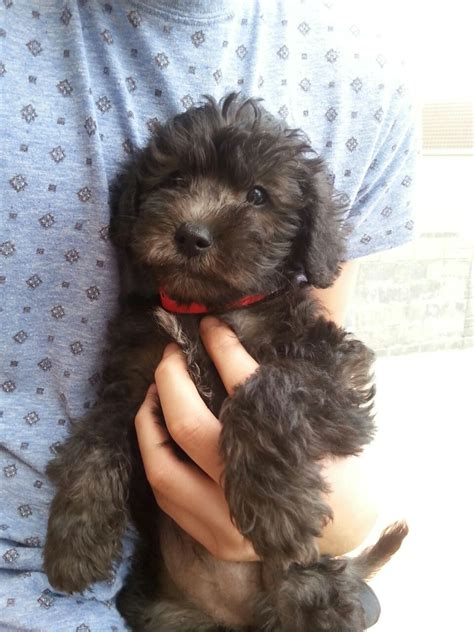 schnoodle puppies rescue f1 schnoodle puppies schnauzer llanelli carmarthenshire pets4homes