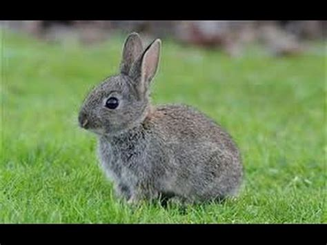 how to catch a rabbit in your backyard how to catch a rabbit youtube