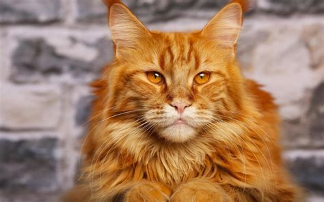 largest breeds in the world top 10 largest cat breeds in the world