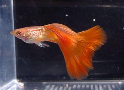 Obat White Spot Ikan Hias Laut White Spot Die 30ml guppy biarpun kecil tapi tetap menarik dan cantik ferboes
