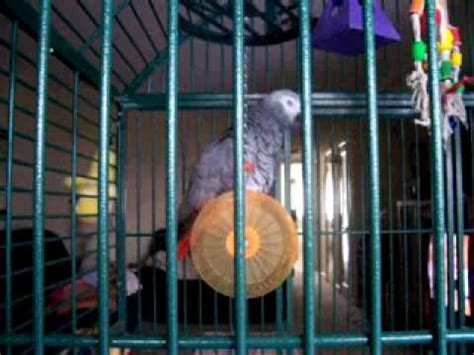 who sings who let the dogs out grey parrot sings gangnam style doovi