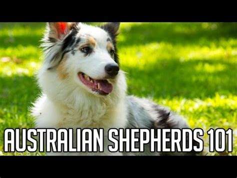 australian shepherd dogs 101 dogs 101 australian shepherd funnydog tv