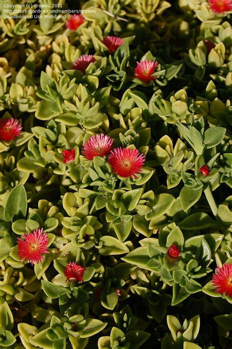 plantfiles pictures baby sunrose heartleaf ice plant