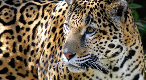 is jaguar endangered image gallery jaguar endangered species