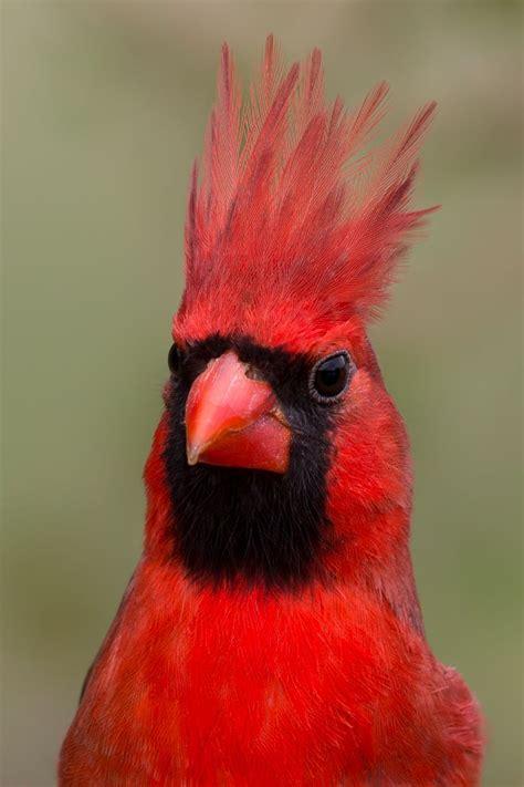 cardinal images cardinal wallpapers animal hq cardinal pictures 4k
