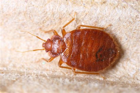 How Do Bed Bugs Look Like what do bed bug droppings look like terminix