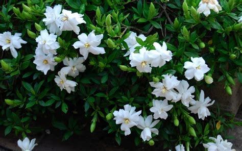 high c gardenias creeping dwarf gardenia 2 5 quart shrub groundcover