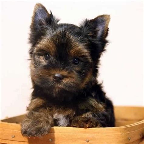 yorkie on sale yorkies for sale get terrier puppy