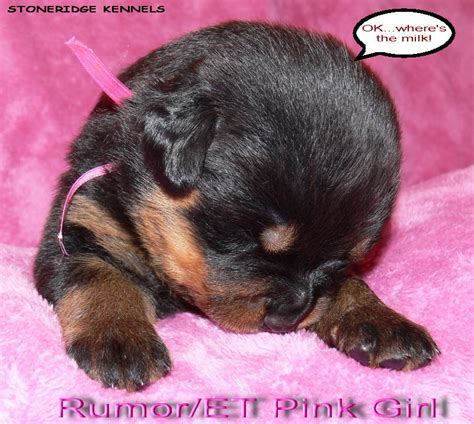 where to find rottweiler puppies rottweiler puppies auto design tech