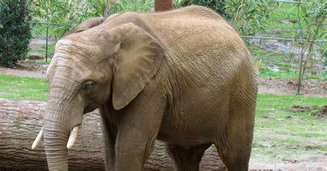 der opel zoo giraffe erdm 228 nnchen co ard das erste