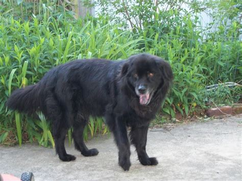 reiki attunement  max newfoundland chow mix