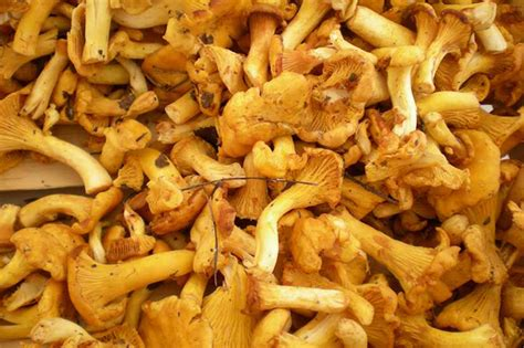 come cucinare i funghi finferli ricette per cucinare i finferli dissapore