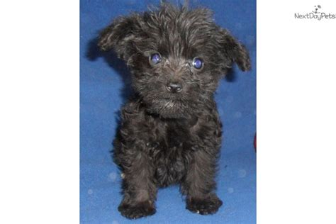 schnoodle puppies for sale near me schnoodle puppy for sale near akron canton ohio d0988bff b491