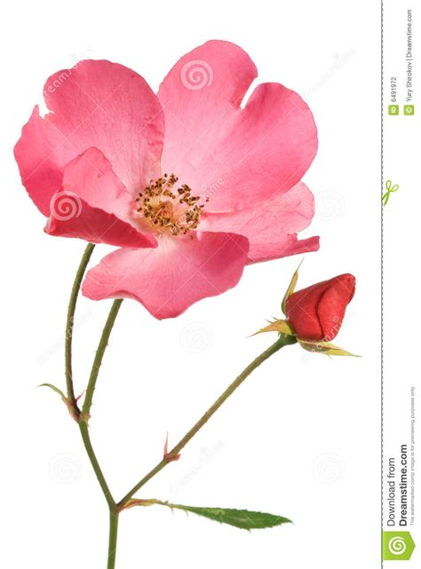 wild rose stock photography image 6491972