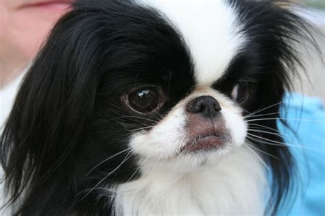 japanese breed dogs japanese chin history and health temperament personality