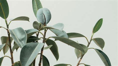 indoor trees  big plants  grow