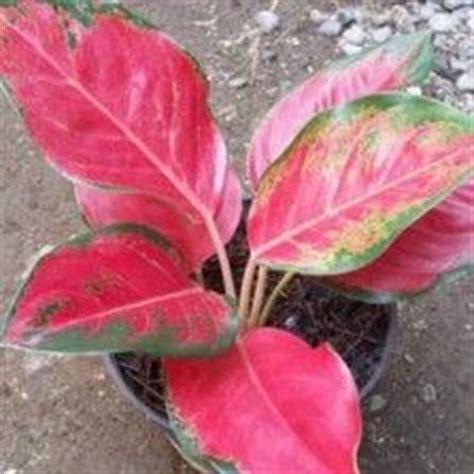 images  tanaman hias daun  pinterest indoor
