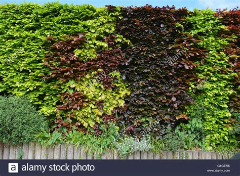 green is the new black www copperbeech com au indoor beech hedge fagus sylvatica copper beech or purple beech