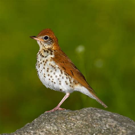 wood thrush photos smithsonian migratory bird center