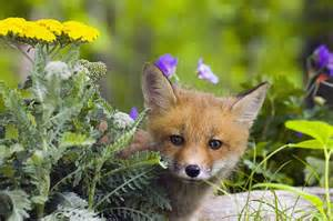 Spring Duvet Red Fox Kit In Spring Wildflowers Photograph By Michael