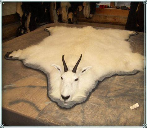 goat rug mountain sheep and mountain goat size and mounts dumont taxidermy libby montana