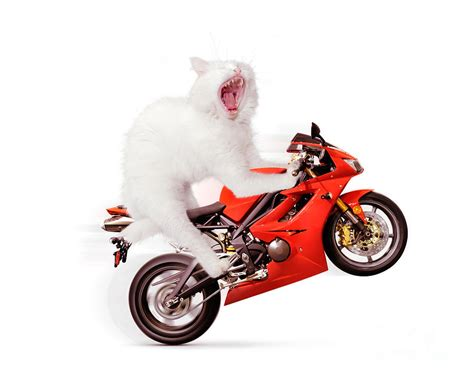 which motorcycle white cat riding motorcycle photograph by oleksiy maksymenko