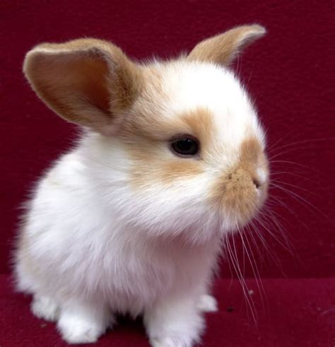 bunnies for sale near me mini lop rabbits for sale