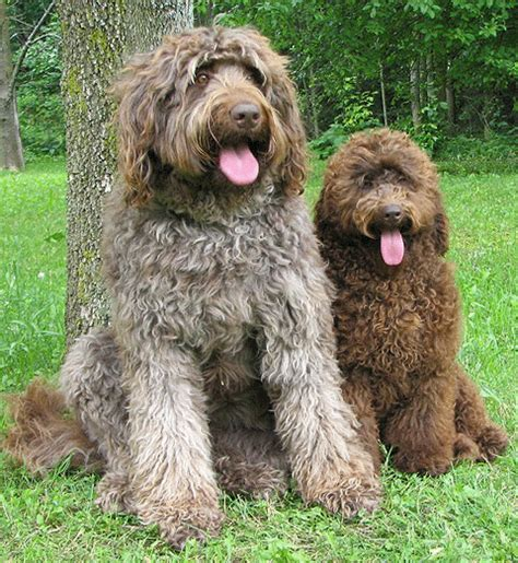 goldendoodle haircuts styles winston and bentley enjoying life http ift tt 2hn5cnc