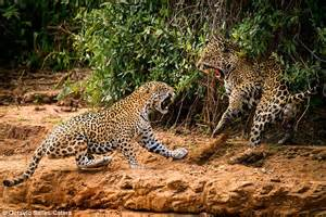 Fight For Jaguar Related Keywords Suggestions For Jaguars Fighting