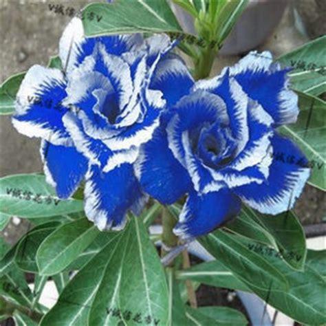 Buy Colored Multi Purpose bonsai indoor bonsai seeds air purification desert rose