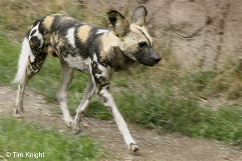 African Wild Dog Facts And Pictures | All Wildlife Photographs