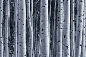 aspen birch forest wall mural nature wall mural eazywallz aspen trees wall mural and removable wall decal