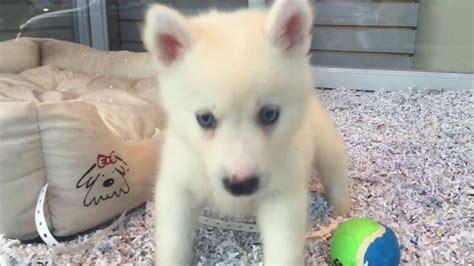 huskimo puppies for sale mini husky huskimo puppies for sale empire puppies funnydog tv
